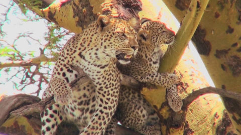 A mother leopard defends her baby in a tree in Africa Footage