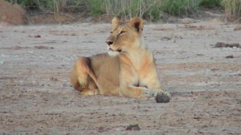 A female lion looks alertly around on the plains of Africa Stock Video Footage