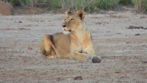 A female lion looks alertly around on the plains of Africa Footage