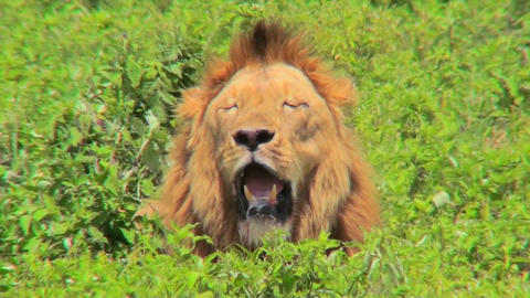 A male lion looks at us with mouth open and big mane Footage