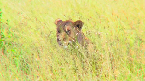 A lion hides and is camouflaged in tall yellow grass Stock Video Footage