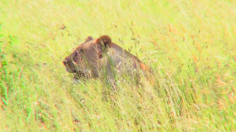 A lion hides and is camouflaged in tall yellow grass Footage