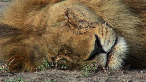 A lion is on the ground covered with flies and could be dead Stock Video Footage