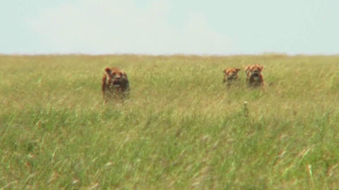 A group of lions walk through tall grass in the distance... Stock Video Footage