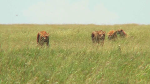 A group of lions walk through tall grass in the distance on the prowl Footage
