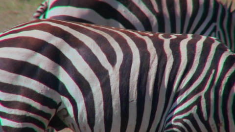 Close up of the detail of a zabra stripes Footage