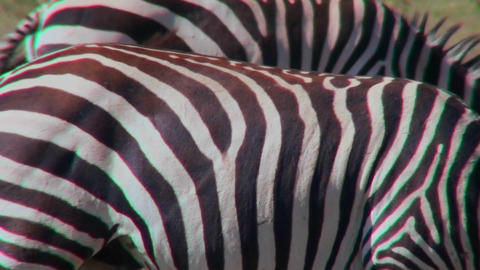 Close up of the detail of a zabra stripes Stock Video Footage