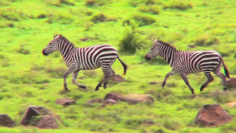 Zebras running in a field in Africa Stock Video Footage