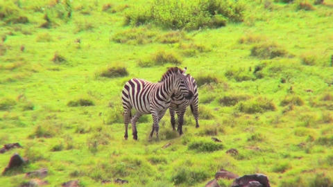 Zebras running in a field in Africa Footage