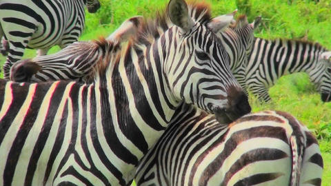 A zebra licks and bites the rump of another zebra Stock Video Footage