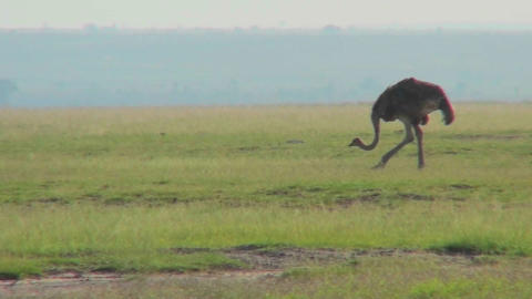 An ostrich walks on the plains of Africa Stock Video Footage