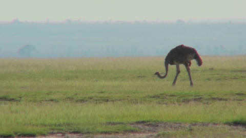 An ostrich walks on the plains of Africa Footage