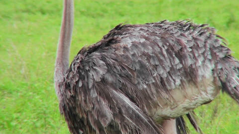 An ostrich preens itself with his head upside down Stock Video Footage