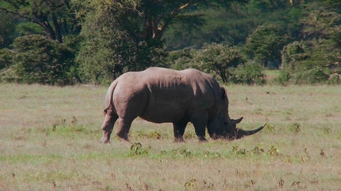 A rare rhino grazes on the plains of Africa Stock Video Footage