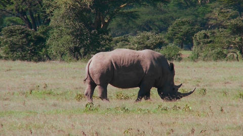 A rare rhino grazes on the plains of Africa Footage