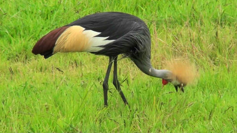 An African crested crane forages in the grass Footage