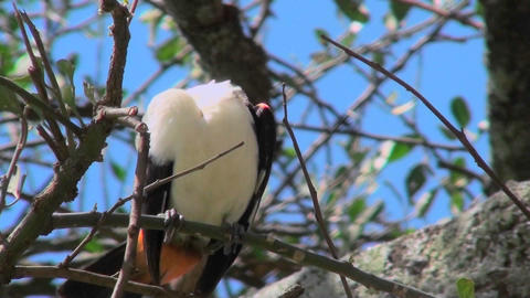 A white headed weaver bird sits in a tree looking around... Stock Video Footage