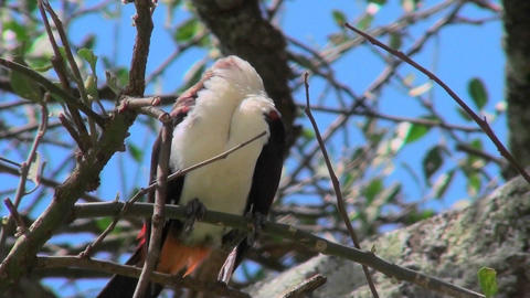 A white headed weaver bird sits in a tree looking around in Africa Footage