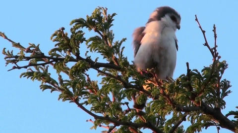 A pygmy falcon sits in a tree in Africa Stock Video Footage
