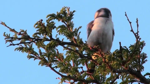 A pygmy falcon sits in a tree in Africa Footage
