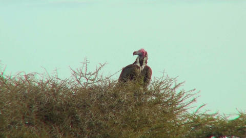 An African vulture sits in a tree Footage