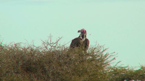 An African vulture sits in a tree Stock Video Footage