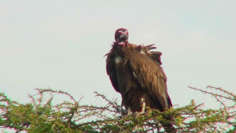 An African vulture looks down out of a tree Stock Video Footage