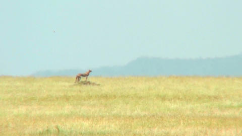 A distant cheetah on the Serengeti Footage