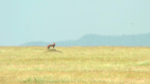 A distant cheetah on the Serengeti Stock Video Footage