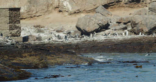 Colony of wild penguins on the shore of the ocean near Luderitz city in Namibia Live Action