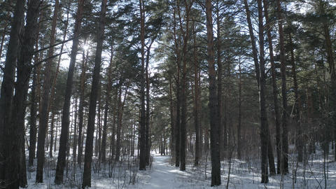 Walking through the coniferous forest. Green forest in early spring Live Action
