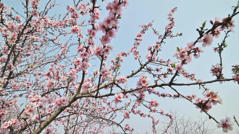 Blooming almond tree branches with pink flowers on sky background at strong wind Live Action
