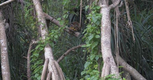 Toque Macaque - Macaca sinica - in Sri Lanka Live Action