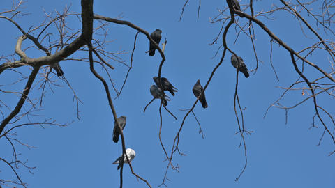 Flock of pigeons sitting on the branches of tree Live Action