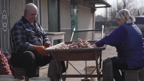 Side view of old Caucasian man and woman sorting potatoes outdoors. Portrait of Live Action