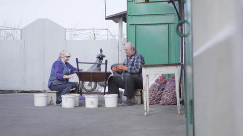 Wide shot of elderly Caucasian couple of farmers sorting potato outdoors. Senior Live Action