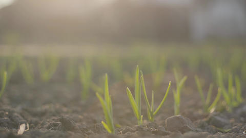 Close-up of plants sprigs on the field in sunlight. Green leaves in black Live Action