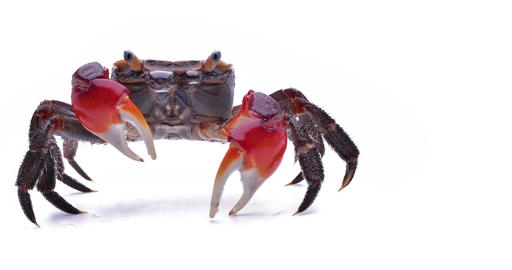 Video shooting red hand crab on white background Live Action