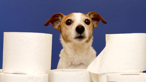 Cute dog sitting with rolls of toilet paper Live Action