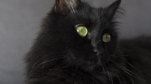Close up portrait of a black fluffy cat with green eyes. Halloween symbol Live Action