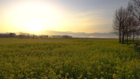 朝日の光芒と菜の花畑 ライブ動画