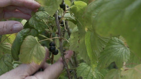 4K Ungraded: Currant Leaf / Berry Tree / Picking Berries Live Action