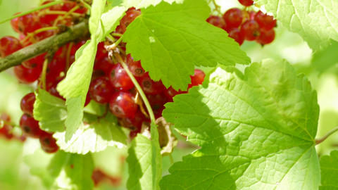 4K Ungraded: Currant Leaf / Berry Tree / Picking Berries Footage