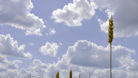 4K Growing Wheat Footage