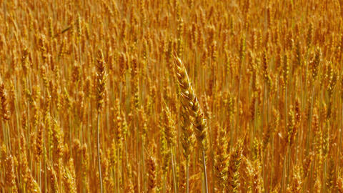 1080p Sliding Back Over Field of Ripe Golden Wheat Footage