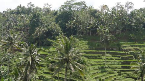 Rice terraces in Ubud, Bali Footage
