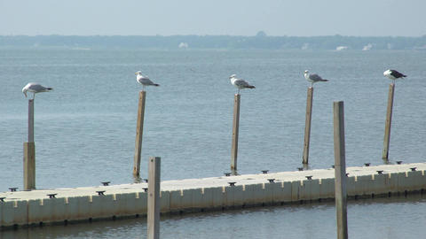 Seagulls pearched on a dock at Ho Hum beach on Fire Island Footage