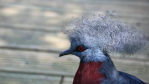 Close Up Portrait Of A Southern Crowned Pigeon Footage