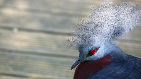 Beautiful Southern Crowned Pigeon Footage