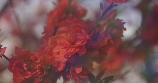 Dreamy red cherry flower in spring daytime closeup ライブ動画